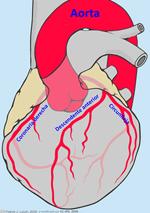 Corazón y arterias coronarias