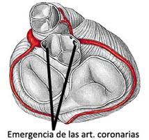 Emergencia de las arterias coronarias en la válvula aórtica